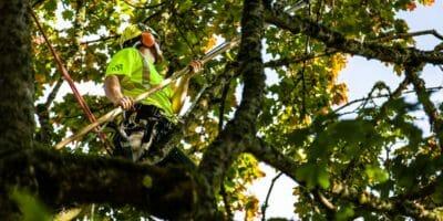 Arborist pruning a tree