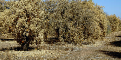 Fruit trees in a drought