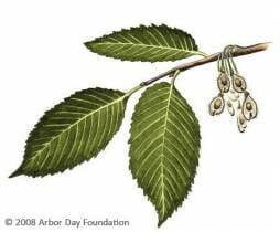 dutch elm tree