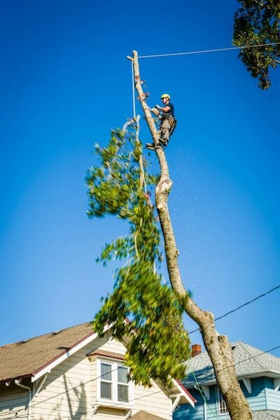 Certified arborist topping a tree in Portland OR
