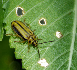 Elm Leaf beetle, Xanthogaleruca luteola by Sarah Zukoff, on Flickr.com