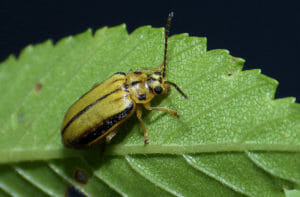 Elm leaf beetle on leaf