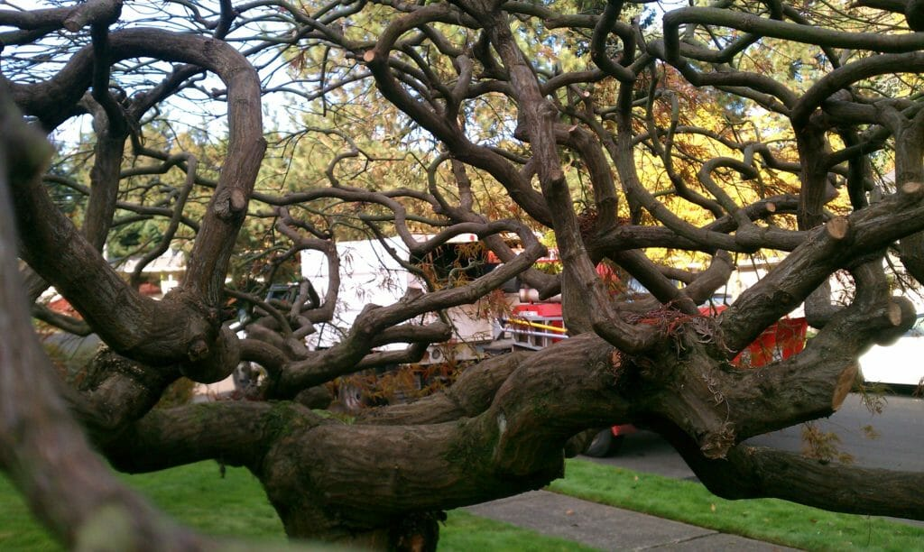 pruning Japanese maple trees