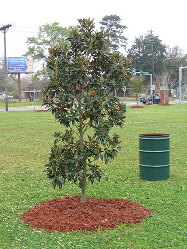 Mulching trees in spring helps them thrive all year