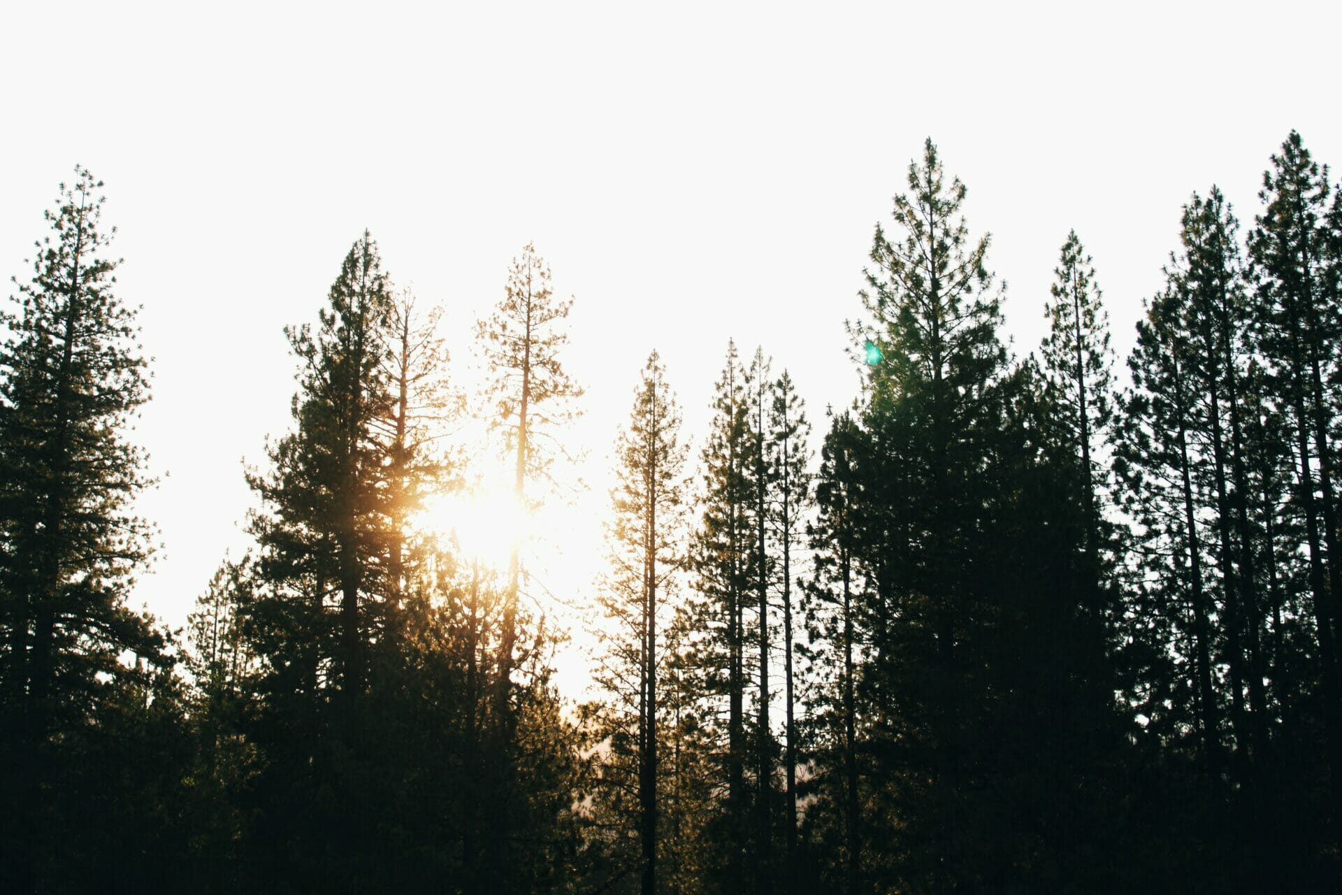 When To Trim A Pine Tree In Portland Or 5 Reasons To Prune A Pine