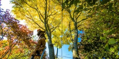 Arborist performing fall tree care on trees