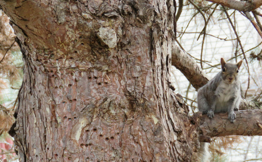 Tree with woodpecker holes and a squirrel