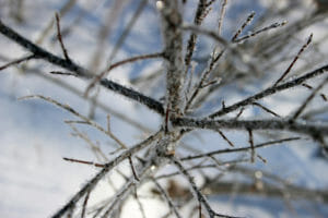 Tree branch with snow frost