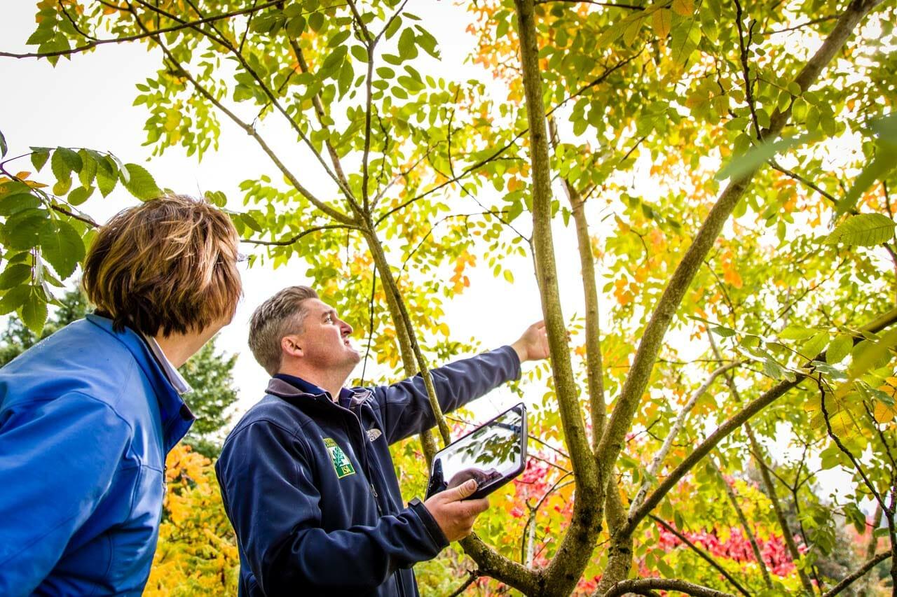 Arborist inspecting tree for pest damage