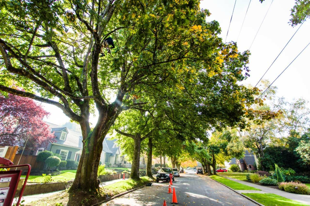 Portland city trees
