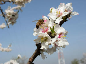 bee pollinating tree blossom