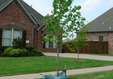 Urban Forest Pro FAQ's: What are my Options for Replanting my Tree?