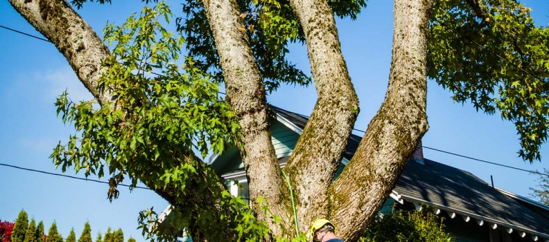 Why NOT to DIY Prune Your Trees