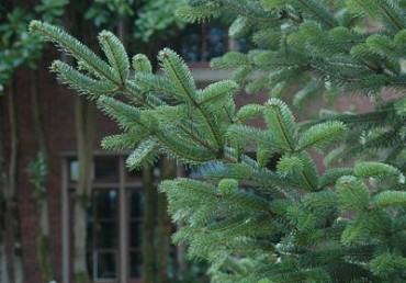 Hazards of Fir Trees