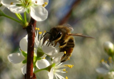 Oregon Bee Deaths Important Lesson in Tree Care