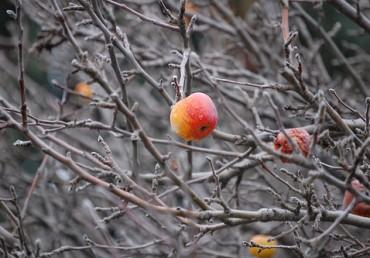 Fruit Tree Pruning: Why to Do It Now & What to Do With Extra Fruit