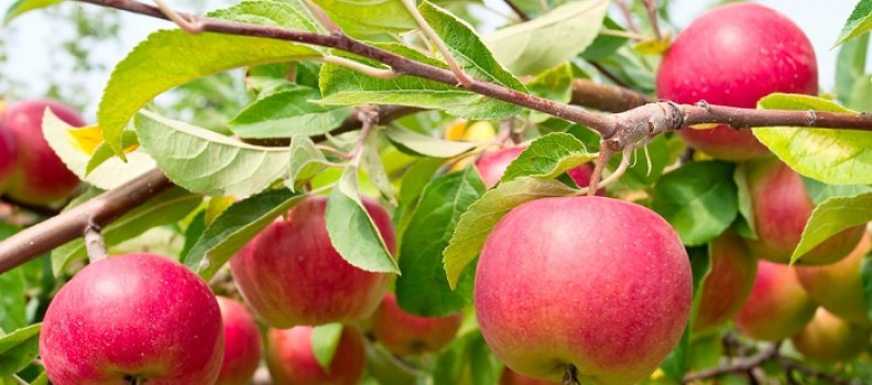 How to Properly Care for Fruit Trees
