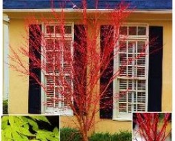 Trees that Add Color to Your Winter Landscape