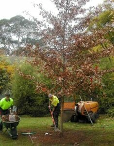 Urban Forest Pro arborists planting a tree