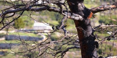 Burned tree after forest wildfire view, disaster in nature