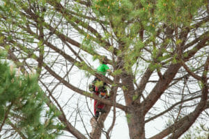 Man with safety equipment and chainsaw pruning tree.