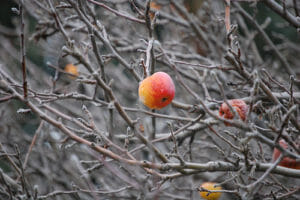 pruning fruit trees oregon