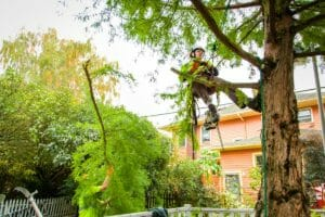 Urban Forest Pro Certified Arborist at work