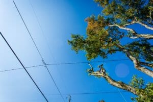 Portland trees near power lines