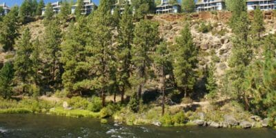 Ponderosa Pines along Deschutes River