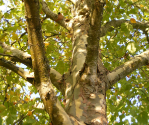 sycamore tree urban forest pro