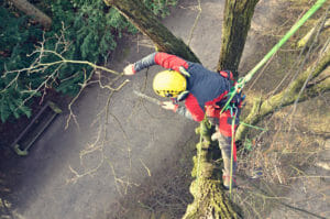 Certified Arborist pruning tree in Portland, OR